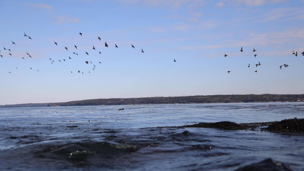 Flock after flock of sea ducks guided in by DNA Guide Service Guide, Captain Darren Lang