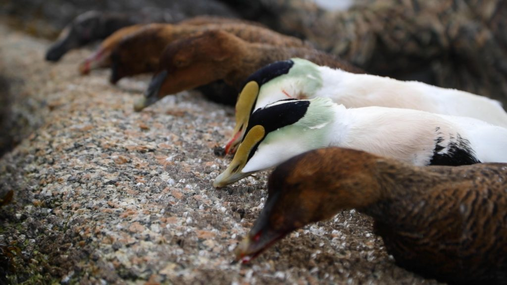 Eiders, Maine Sea Ducks